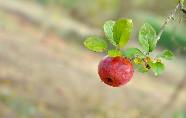 Apfel bedeckt vom tau