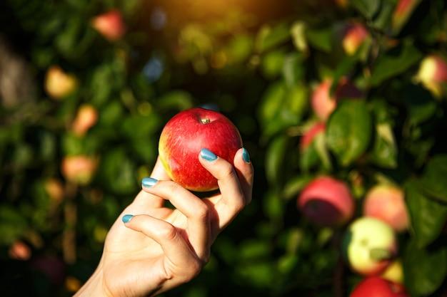 Apfel in den frauenhänden auf dem hintergrund eines apfelhains
