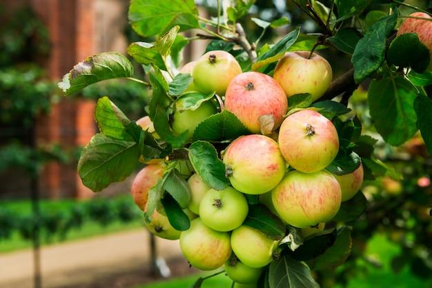 Apfelbäume im garten während des herbstes, großbritannien
