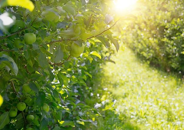 Apfelbäume.