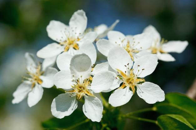 Apfelbaum blühende blumen