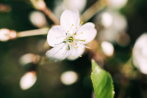 Apfelbaum blüht im frühjahr