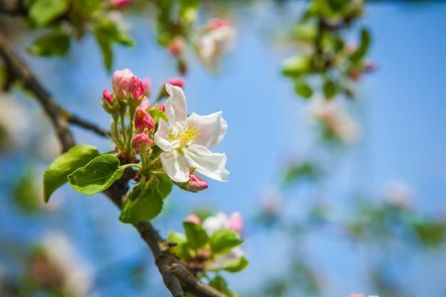 Apfelbaum flowerson twiig