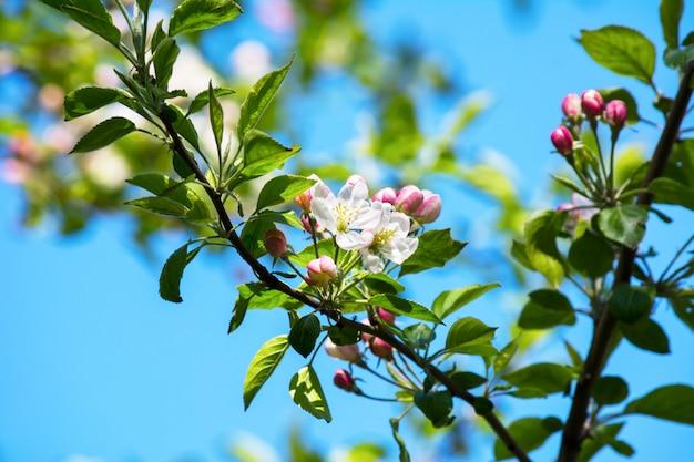 Apfelbaumblüte, selektiver fokus