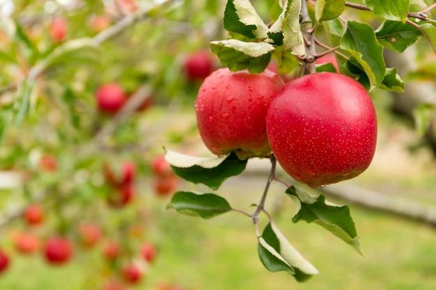 Apfelbaumfarm
