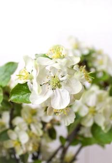 Apfelbaumfrühling der weißen blumen