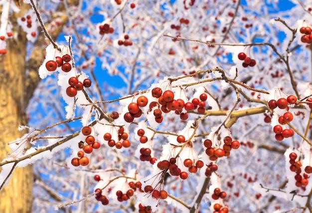 Apfelbaumzweige im winter. kleine rote zieräpfel auf einem mit schnee und frost bedeckten ast