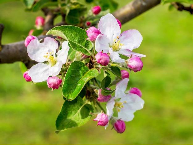 Apfelblüte im garten. zweig der apfelbäume mit blumen_