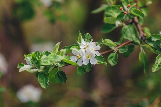 Apfelblütenzweig der blumen auf grünem hintergrund