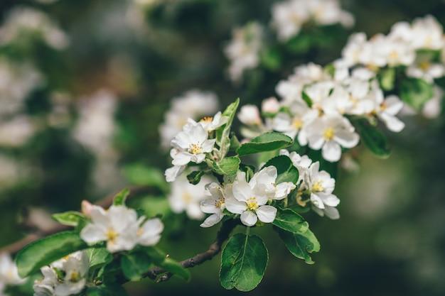 Apfelblütenzweig der blumen auf grüner wand