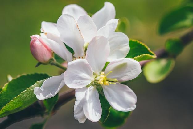 Apfelblütenzweig mit blumen