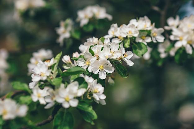 Apfelblütenzweig von blumen auf grünem garten