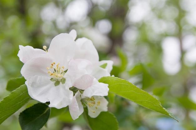 Apfelblumen blühen in der natur
