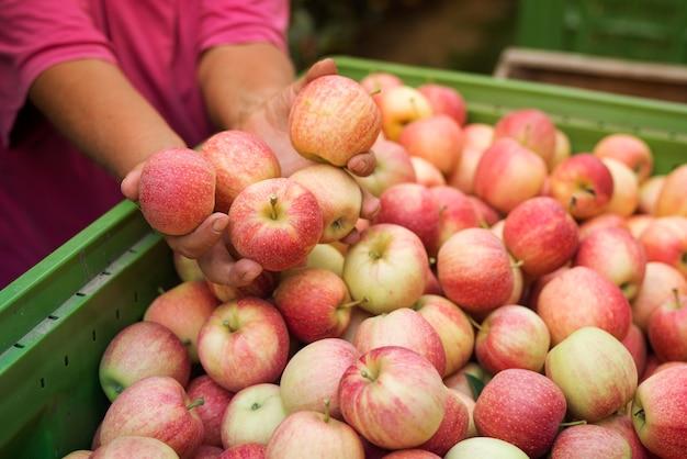 Apfelernte im obstgarten