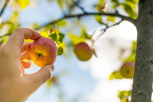Apfelernte. landwirthand wählt reifen ausgereiften apfel vom baum aus.