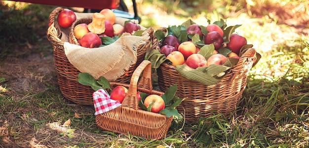 Apfelernte reife rote äpfel im korb auf dem grünen gras.