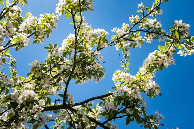 Apfelgarten in voller blüte im frühling unter der sonne und dem blauen himmel