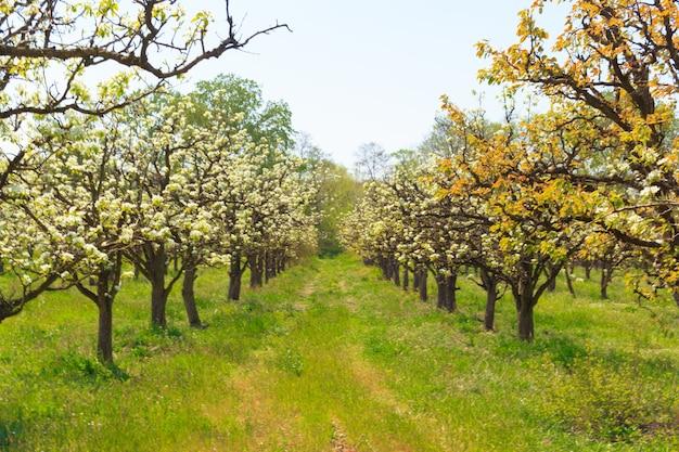 Apfelgarten mit blühenden bäumen