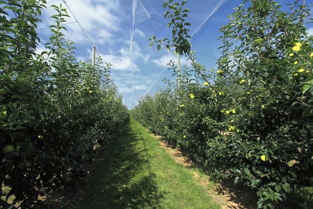 Apfelgarten mit einem sicherheitsnetz