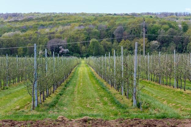 Apfelgarten mit jungen schösslingen im frühjahr