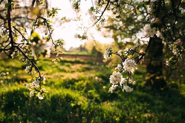 Apfelknospen blühen im frühjahr. apfelblüte. frühlingsgarten.