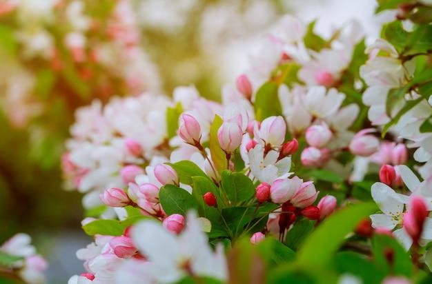 Apple blüht über unscharfen naturhintergrund frühlingsblumen