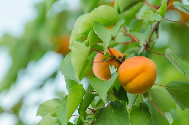 Aprikosen auf einem ast. aprikosen am baum