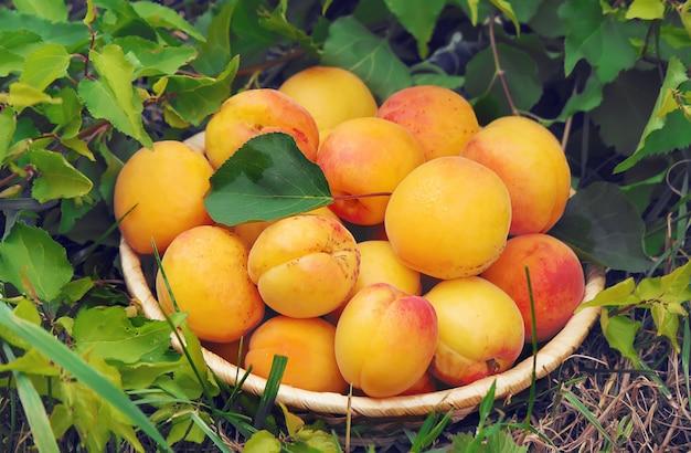 Aprikosen auf weißem hintergrund.