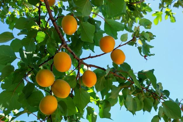Aprikosenbaum mit hellen reifen früchten