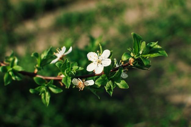 Aprikosenbaumblüten mit weichem fokus. weiße frühlingsblumen auf einem ast. aprikosenbaum in voller blüte. frühling, jahreszeiten, weiße blumen einer aprikosenbaum-nahaufnahme.