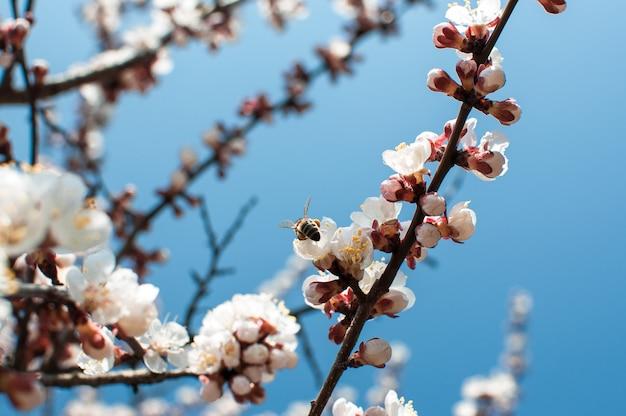 Aprikosenbaumblüten mit weichem fokus. weiße frühlingsblumen auf einem ast