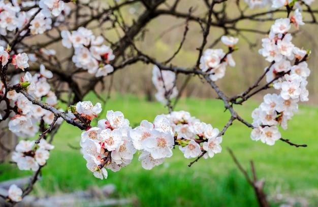 Aprikosenfruchtbaum, der im frühling blüht