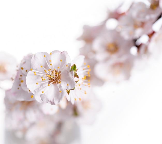 Aprikosenfrühlingsblumen schließen oben auf weißem hintergrund