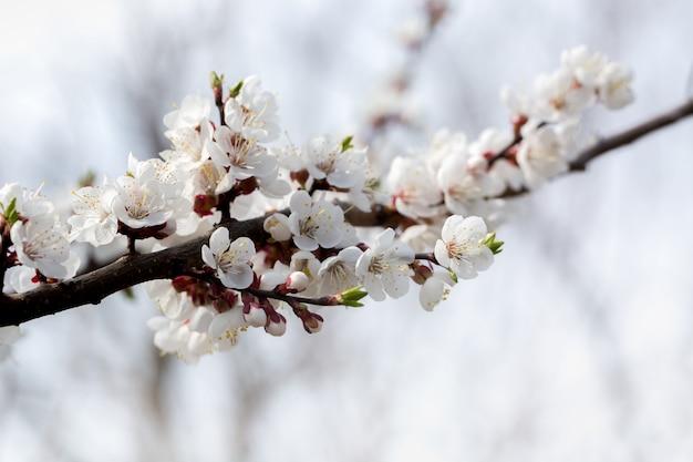 Aprikosenzweig im frühjahr