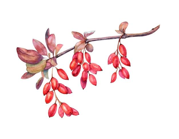 Aquarell berberitze zweig mit roten und ockerfarbenen blättern