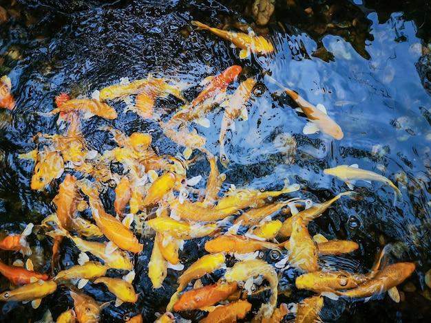 Aquarell bunter koi-fisch oder ausgefallener karpfenfisch im teich.