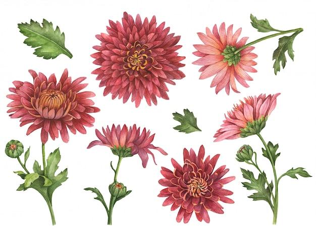 Aquarell-chrysanthemenblumen lokalisiert auf weiß