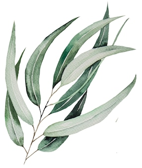 Aquarell-eukaliptus-blätter auf zweigillustration isoliert