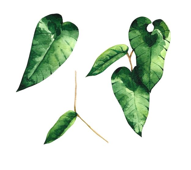 Aquarell grüne efeublätter cliparts set isoliert auf weißem hintergrund. drei botanische illustrationen. laub-design-elemente.