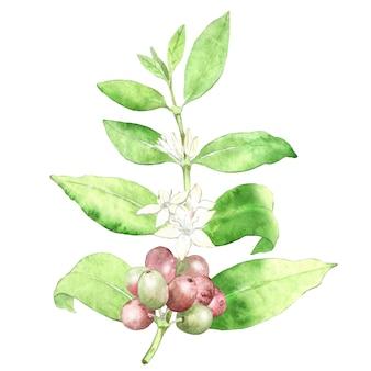 Aquarell-kaffeepflanze mit blumen und bohnen