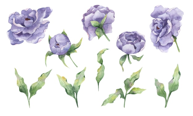 Aquarell-set mit lila blüten von pfingstrosen und zweigen von blättern auf weißem hintergrund