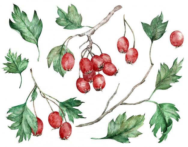 Aquarell von roten beeren und von grünblättern auf niederlassungen