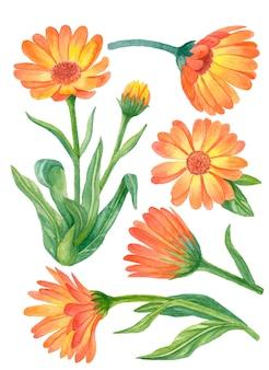 Aquarellblumensatz, handgezeichnete blumenillustration, ringelblumenblumen lokalisiert
