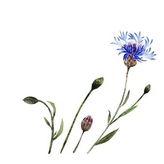 Aquarellillustration mit zweigen, blättern, knospen und blüten der kornblumenpflanze