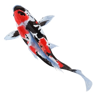 Aquarellmalerei eines koi-karpfenfisches