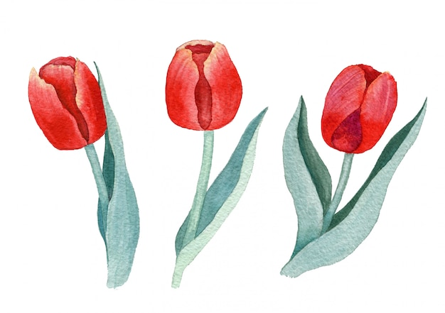 Aquarellrote tulpen auf einem weißen hintergrund