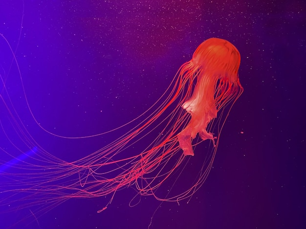 Aquarium mit quallen, leuchtenden neonquallen ocen
