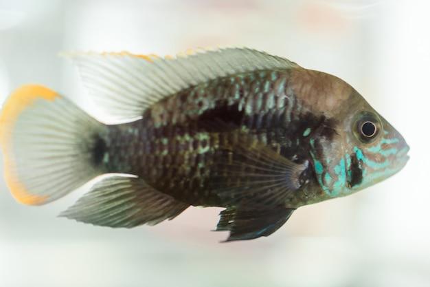 Aquariumfisch-zwergbuntbarsch. apistogramma nijsseni ist eine buntbarschart, die in stark eingeschränkten lokalen schwarzwasserhabitaten endemisch ist.