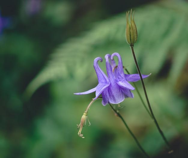 Aquilegia vulgaris blüht in der natur von nicht fokussierten farnen. konzept der natürlichen blumen.