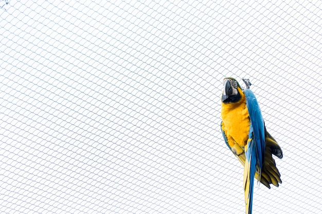 Ara caninde essen und fliegen frei in einem park. arara caninde stammt ursprünglich aus brasilien.